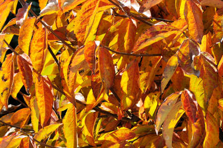 ebenaceae: Autumn leaves on a Persimmon tree, Calypso, Mijas Costa, Malaga Province, Costa del Sol, Andalucia, Spain, Western Europe