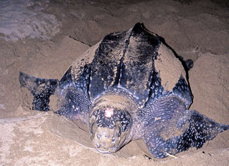 Leatherback Turtle coming ashore to lay eggs, Grafton beach, Tobago, Trinidad and Tobago, Caribean, West Indies