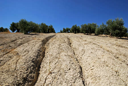 chalky: Olive groves on a slope with grooves for watering, Baeza, Jaen Province, Andalusia, Spain, Western Europe