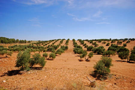 sloping: Olive grove with red soil on a sloping hill, Near Bornos, Cadiz Province, Andalucia, Spain, Western Europe