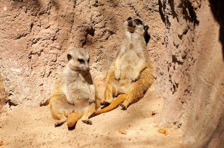 insectivores: Meerkats   Suricata Suricatta  relaxing against a rock , Fuengirola, Costa del Sol, Malaga Province, Andalucia, Spain, Western Europe