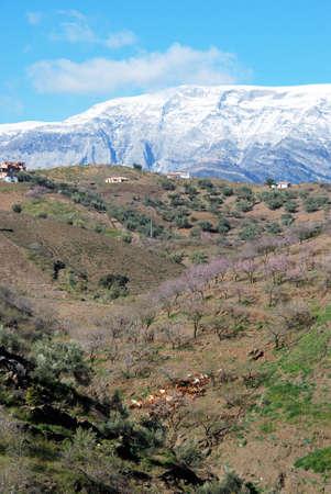 snow capped: Reba�o de cabras y ganadero en las laderas con �rboles de flor rosa y monta�as cubiertas de nieve a la parte posterior en Arenas, provincia de M�laga, Espa�a Foto de archivo