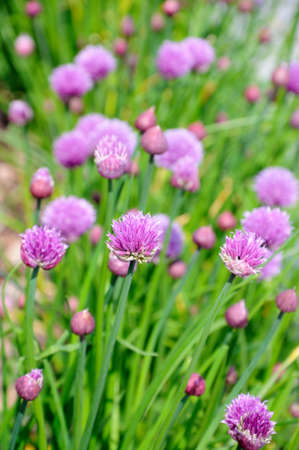 Flower heads of the Allium schoenoprasum