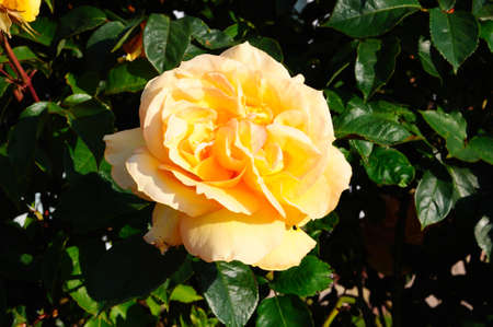 english rose: Peach coloured English rose in full bloom, England, Western Europe  Stock Photo