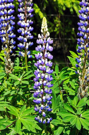 lupin: Blue and white Lupin flowers