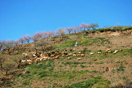 herdsman: Arenas, Spain - February 13, 2009 - Herd of goats and herdsman on hillside with pink blossom trees to rear, Arenas, Malaga Province, Andalusia, Spain, Western Europe