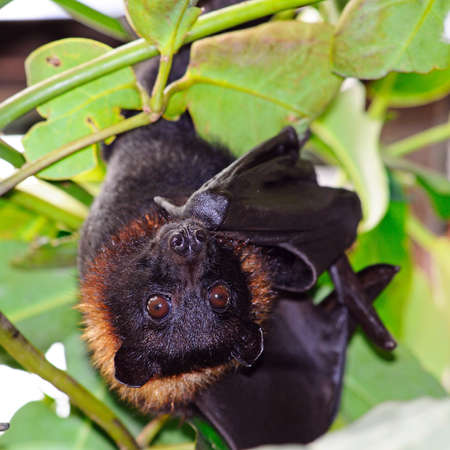 The Large Flying Fox (Pteropus Vampyrus) hanging upside down  Stock Photo