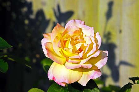 english rose: Single yellow and pink English rose.