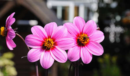 hover: Three pink dahlias with a hover fly in the centre of the right hand flower, England, UK, Western Europe. Stock Photo