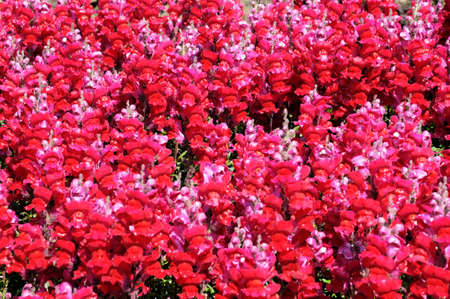snapdragon: Pink snapdragon flowers nature background. Stock Photo
