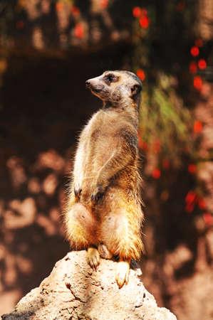 Meerkat (Suricata Suricatta) standing on a rock.