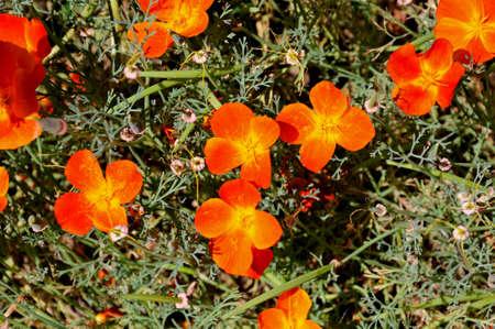 californian: Orange Californian Poppies in bloom.