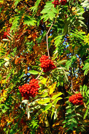 european rowan: Autumn berries on a Mountain Ash (Rowan) tree, UK.