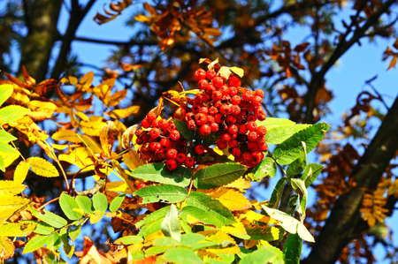 rowan tree: Autumn berries on a Mountain Ash (Rowan) tree, UK.