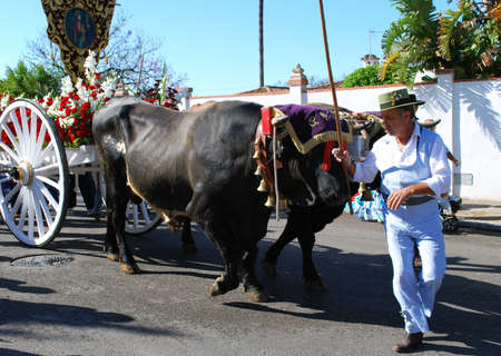 herder: Marbella, Spain - June 8, 2008 - Spanish man heading the bull cart during the Romeria San Bernabe, Marbella, Costa del Sol, Malaga Province, Andalusia, Spain, Western Europe.