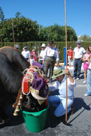 herder: Herder giving the bulls a drink from of water buckets during the Romeria San Bernabe procession, Marbella, Costa del Sol, Malaga Province, Andalusia, Spain, Western Europe.