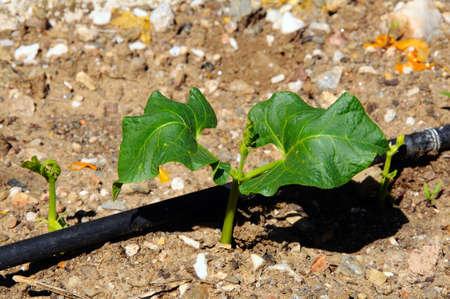 runner bean: White Lady runner bean seedlings growing along an irrigation pipe.