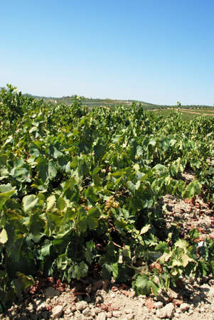 spanish landscapes: View across the vineyards in the Spanish countryside, Montilla, Cordoba Province, Andalusia, Spain, Western Europe.