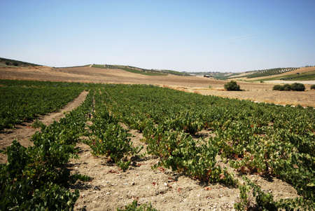 spanish landscapes: View across the vineyards in the Spanish countryside, Montilla, Cordoba Province, Andalusia, Spain, Western Europe Stock Photo