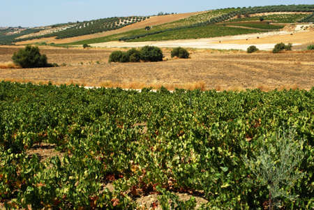 View across the vineyards in the Spanish countryside, Montilla, Cordoba Province, Andalusia, Spain, Western Europe.