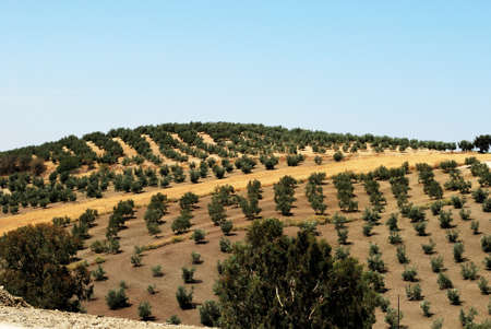 olive groves: Olive groves on rolling hills in the Spanish countryside, Montilla, Cordoba Province, Andalusia, Spain, Western Europe.