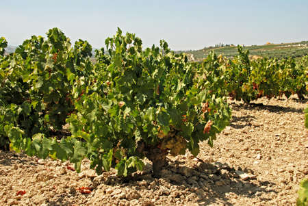 viniculture: View across a Spanish vineyard with ripe white grapes, Montilla, Cordoba Province, Andalusia, Spain, Western Europe.