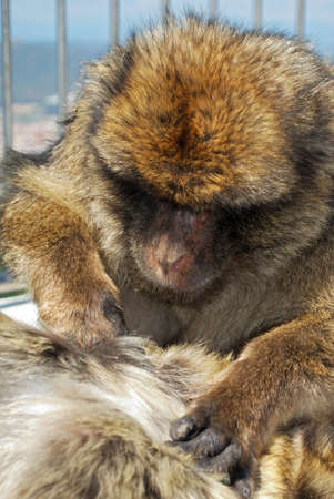 barbary ape: Two Barbary Apes (Macaca Sylvanus) on the viewing platform, Gibraltar, United Kingdom, Western Europe.