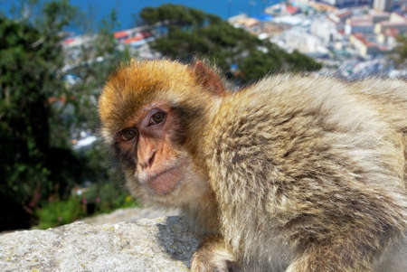 sylvanus: Barbary Ape (Macaca Sylvanus) sitting on a wall near the top of the rock with the Mediterranean Sea to the rear, Gibraltar, United Kingdom, Western Europe.