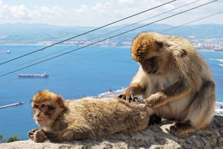 sylvanus: Two Barbary Apes (Macaca Sylvanus) on a wall near the top of the rock, Gibraltar, United Kingdom, Western Europe.