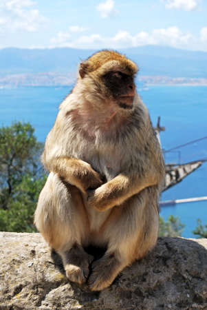 sylvanus: Barbary Ape (Macaca Sylvanus) sitting on a wall near the top of the rock with the Mediterranean Sea and Spanish coastline to the rear, Gibraltar, United Kingdom, Western Europe.