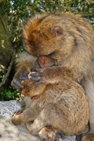 sylvanus: Female Barbary Ape (Macaca Sylvanus) grooming her baby on a wall near the top of the rock, Gibraltar, United Kingdom, Western Europe. Stock Photo