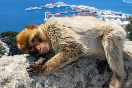 sylvanus: Barbary Ape (Macaca Sylvanus) lying on a wall near the top of the rock with the Mediterranean Sea and Spanish coastline to the rear, Gibraltar, United Kingdom, Western Europe. Stock Photo