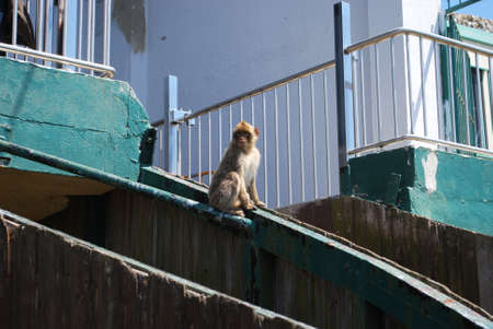 sylvanus: Barbary Ape (Macaca Sylvanus) sitting on the cable car housing, Gibraltar, United Kingdom, Western Europe. Editorial