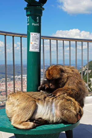 sylvanus: Barbary Apes (Macaca Sylvanus) sitting on the telescope on the viewing platform, Gibraltar, United Kingdom, Western Europe. Stock Photo