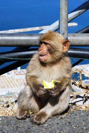 barbary ape: Young Barbary Ape (Macaca Sylvanus) eating an apple, Gibraltar, United Kingdom, Western Europe.