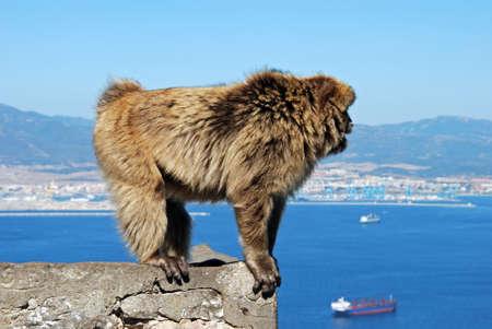 barbary ape: Barbary Ape (Macaca Sylvanus) standing on a wall, Gibraltar, United Kingdom, Western Europe.
