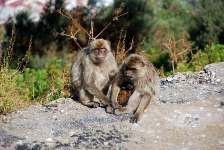sylvanus: Two Barbary Apes holding their baby, Gibraltar, United Kingdom, Western Europe.