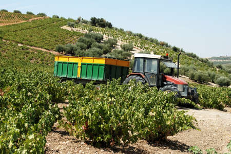 harvest time: Tractor with trailer in a vineyard during harvest time, Montilla, Cordoba Province, Andalusia, Spain, Western Europe.
