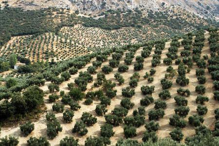 cordoba: Olive groves on the mountainside, Priego de Cordoba, Cordoba Province, Andalusia, Spain, Western Europe. Stock Photo