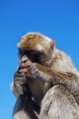 barbary ape: Barbary Ape (Macaca Sylvanus) eating a carrot, Gibraltar, United Kingdom, Western Europe.
