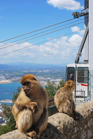 sylvanus: Two Barbary Apes (Macaca Sylvanus) on a wall near the top of the rock with a cable car to the rear, Gibraltar, United Kingdom, Western Europe.