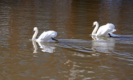 gloucestershire: Pair of white mute swans swimming in the docks, Gloucester, Gloucestershire, England, UK, Western Europe.