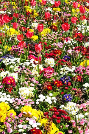 Pretty flowerbed with spring flowers including bellis primroses pretty flowerbed with spring flowers including bellis primroses and tulips shrewsbury shropshire mightylinksfo