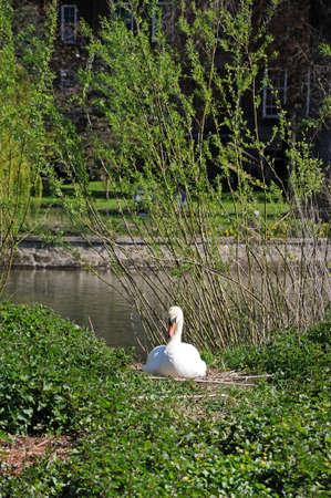 severn: Mute swan nesting on the River Severn riverbank, Shrewsbury, Shropshire, England, UK, Western Europe.