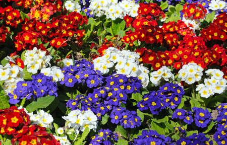 primroses: Mixed coloured Primroses nature background.