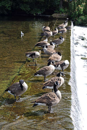 derbyshire: Canada Geese standing on the weir along the River Wye, Bakewell, Derbyshire, England, UK, Western Europe.