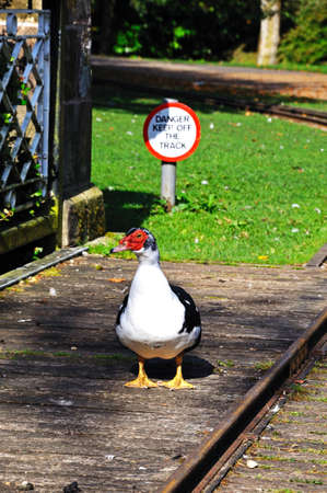 derbyshire: Muscovy duck on the footbridge in the Pavilion Gardens, Buxton, Derbyshire, England, UK, Western Europe.