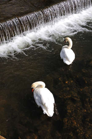 derbyshire: Two mute swans by the weir on the River Wye, Bakewell, Derbyshire, England, UK, Western Europe.
