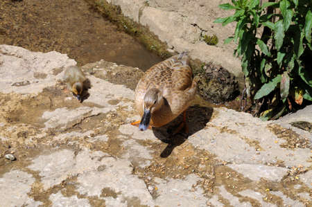gloucestershire: Duck with duckling on the riverbank, Lower Slaughter, Cotswolds, Gloucestershire, England, UK, Western Europe. Stock Photo