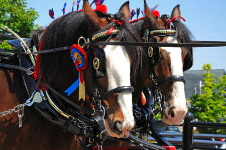 headgear: Shire horses with headgear and rosettes promoting Liverpool International Horse Show by Kings Dock, Liverpool, Merseyside, England, UK, Western Europe.